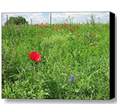 Red Cornflower Poppy Art