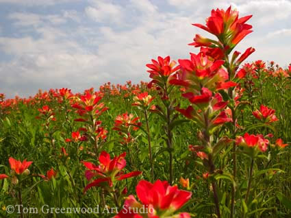 Prairie Fire The Indian Paintbrush Art